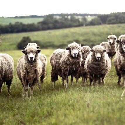 sheep-690371_1920 (1)